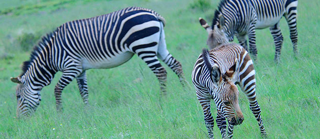 Cape Mountain Zebra, sanparks, www.eastern-cape-info.co.za