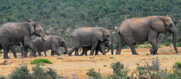 Addo Elephant Ride