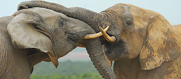 The Addo Elephant Park South Africa: An Example of Wildlife Conservation That Worked